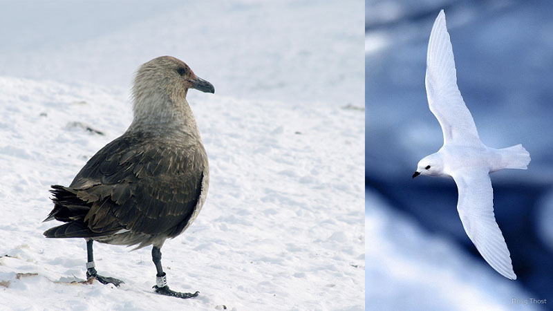 South polar skua & snow petrel